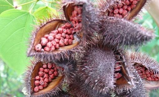 Annato (achiote) seed pods