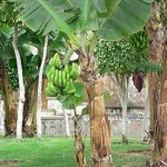 banana tree or plant showing trunk (pseudostem) and green bananas
