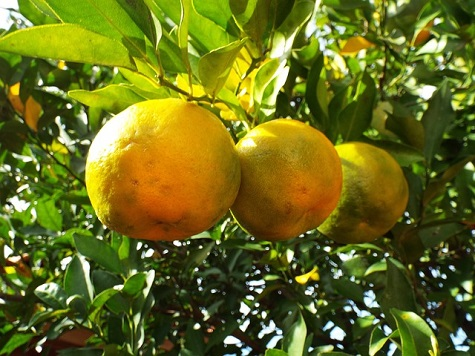 bergamot fruit on tree