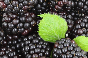 closeup photo of blackberries with blackberry leaves