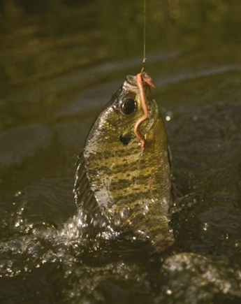 bluegill or bream (brim) on hook with earthworm as bait