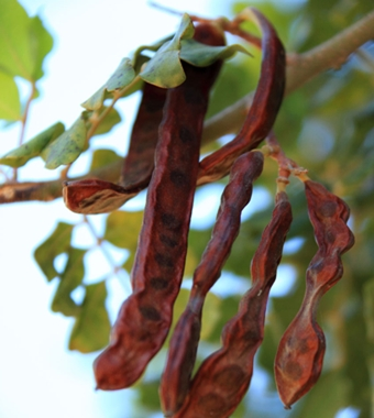 carob pods growing on Carob tree (locust tree)