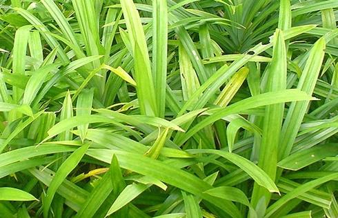 Pandan or Screwpine leaves growing