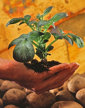 potato plant held in hand with potatoes underneath