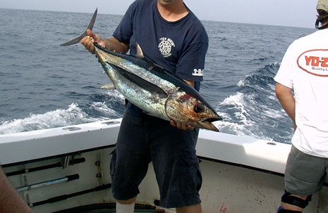 Freshly caught albacore or 'white' tuna.