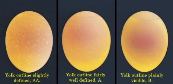 candled eggs showing yolk outline