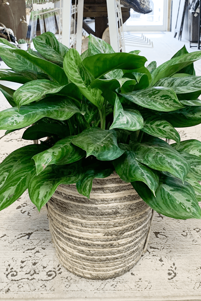 Chinese Evergreen is one of the best houseplants for beginners