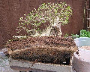 Quando as raízes estão ocupando 100% do vaso, é hora de trocar.