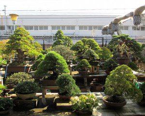 No Japão os bonsais são deixados ao ar livre no jardim.