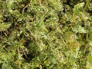 Plantação de soja destruída por insetos.