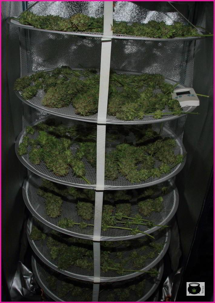 Secadero con cogollos de marihuana en pleno secado: Cómo hacer la manicura y curar la marihuana de nuestro cultivo