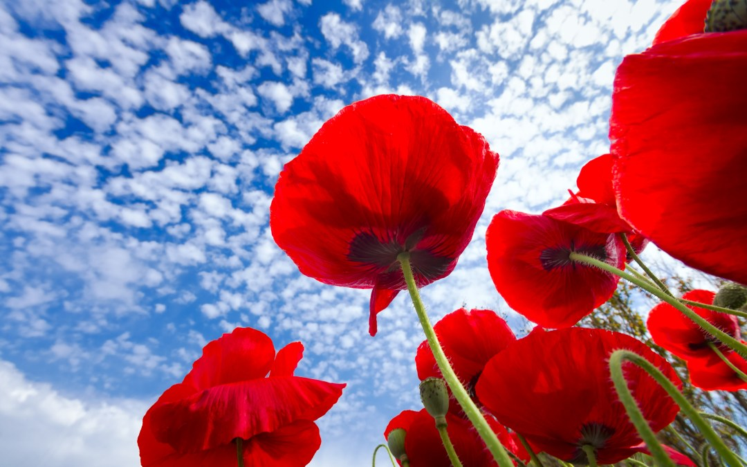 Poppies Grow Where Soldiers Fell – Reflections on Memorial Day