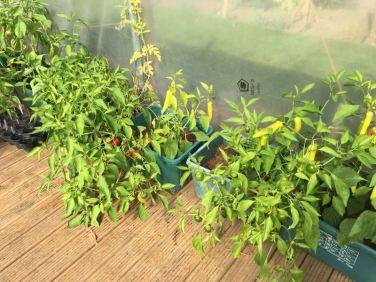 Cultivate-London-Salopian-Kitchen-Garden-August-2016_1023