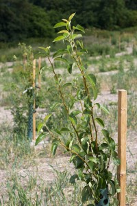 The Cultivate orchard in (slightly) younger days - future carbon sequestration right there, not to mention delicious apple varieties