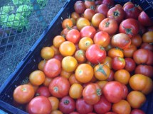 Abundant tomatoes!