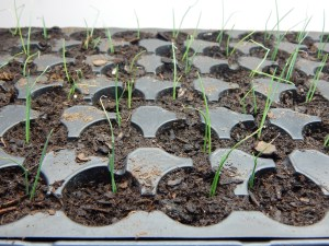 Leeks transplanted to their new home
