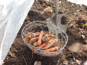 Carrots harvested in one of my low tunnels on March 10