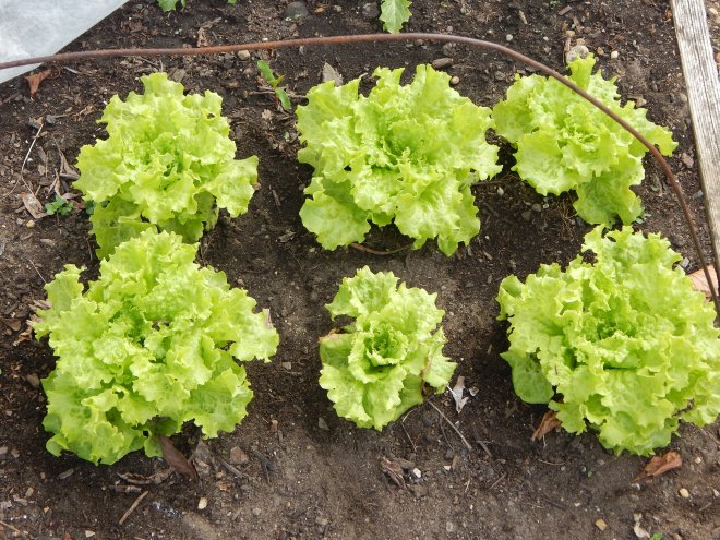 First Lettuce of the season, Black Seeded Simpson