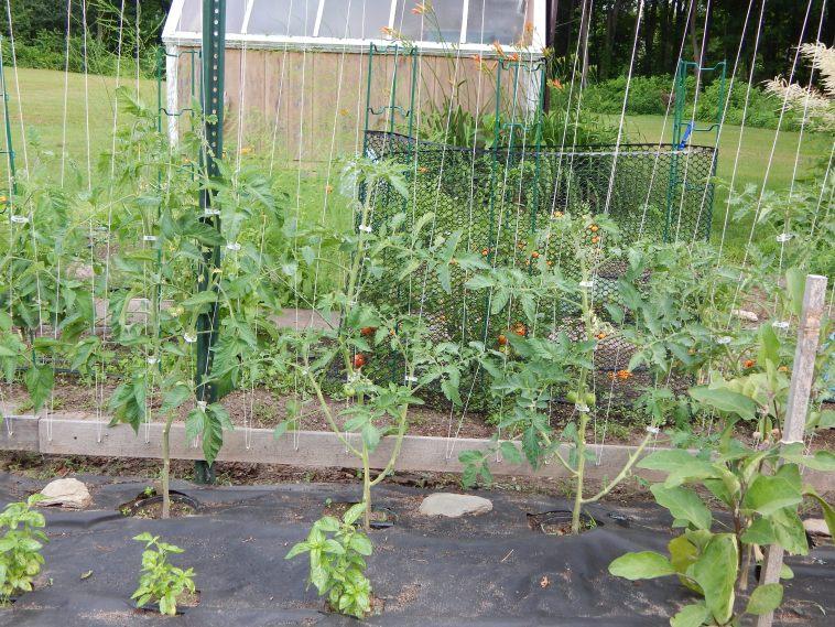 PRUNED TOMATO PLANTS