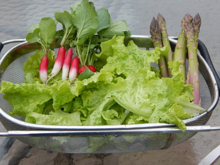 SOME FRENCH BREAKFAST RADISHES HARVESTED EARLIER IN THE YEAR