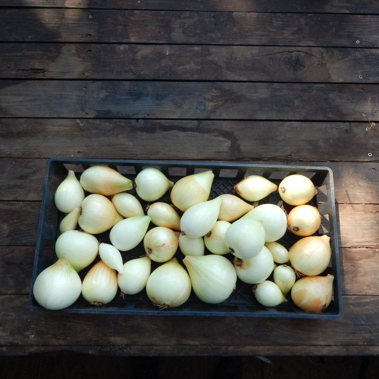 WALLA WALLA ONIONS CLEANED UP AND READY FOR THE PANTRY.  WE LOVE THIS SWEET WHITE ONION IN SALADS, ON BURGERS, AND WITH CUKES FOR A SIMPLE SALAD