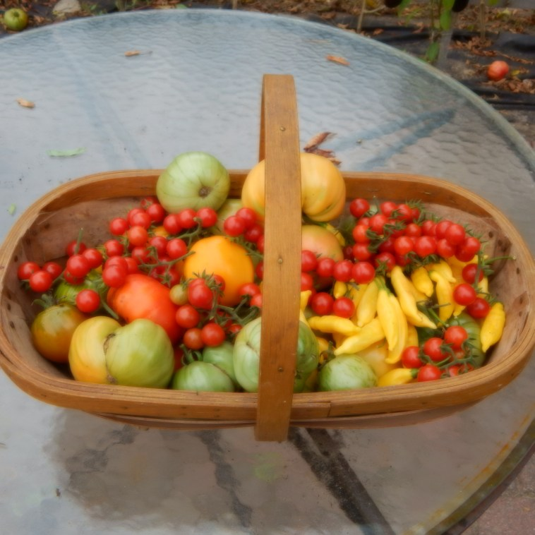 THE HARVEST BASKET IN THE FIRST WEEK OF OCTOBER