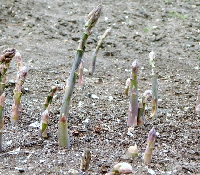 Asparagus Season is Finally Here