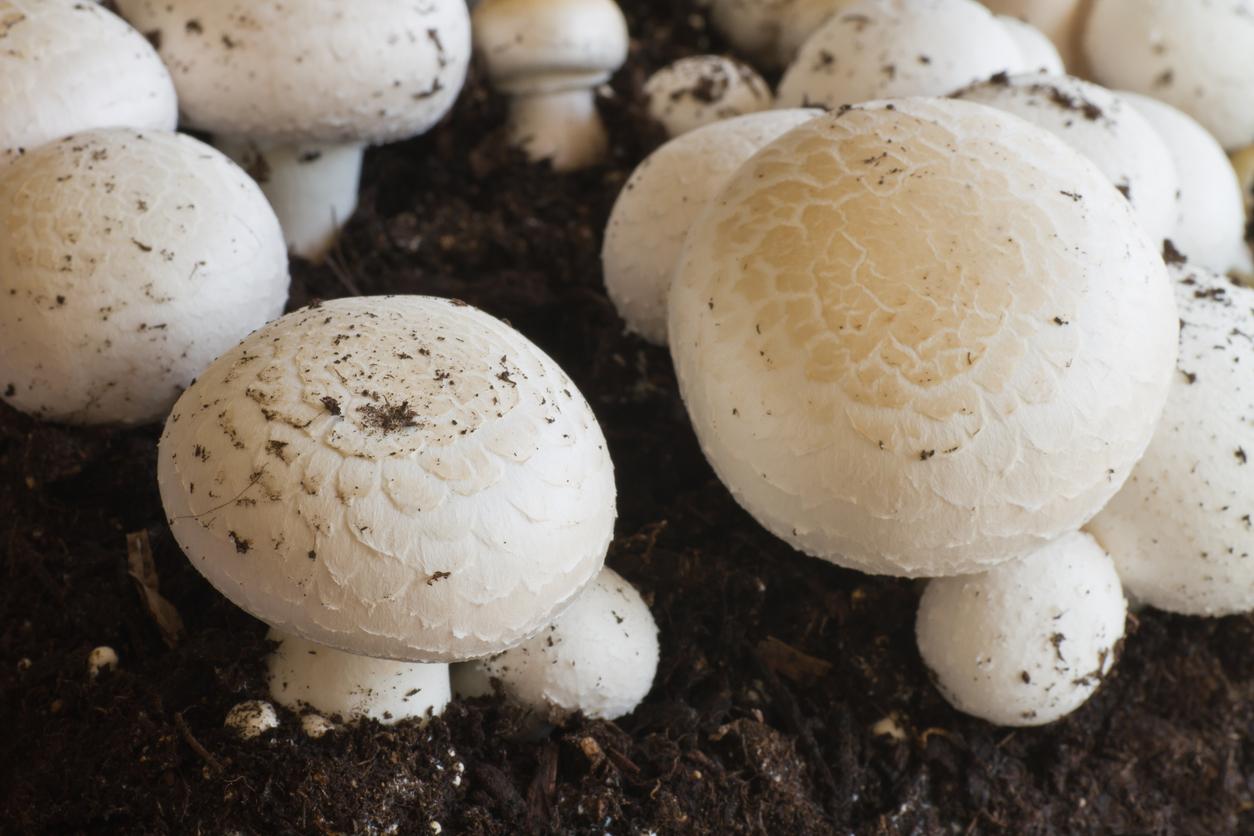 Le composte est la nourriture principale du champignon de paris, celui ci intervenant dans la décomposition secondaire des éléments organiques.