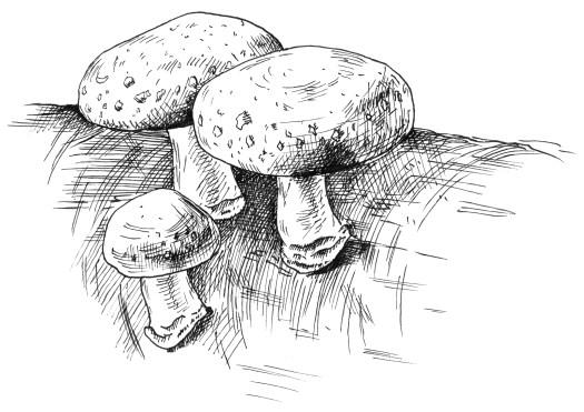 Les shiitakés ne sont pas seulement cultivés, ils se trouvent aussi à l'état naturel.