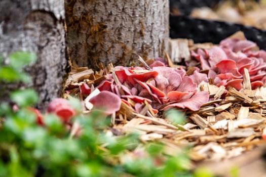 La culture de la pleurote rose est facile au potager