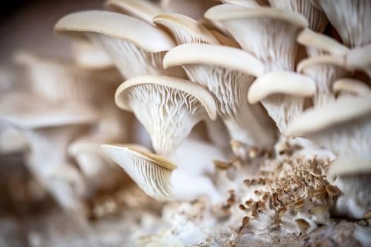Hypsizygus ulmarius reste un meilleur comestible que le pleurote