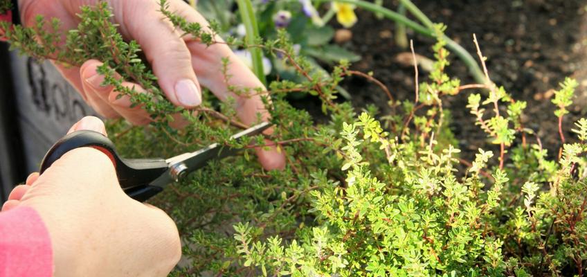 Como cultivar ervas aromáticas: anuais, vivazes e perenes