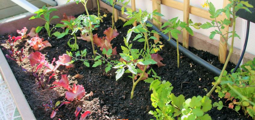 Plantas companheiras ou associações de cultivo favoráveis