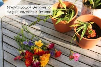 Plantar bolbos de Inverno – tulipas, narcisos e frésias!