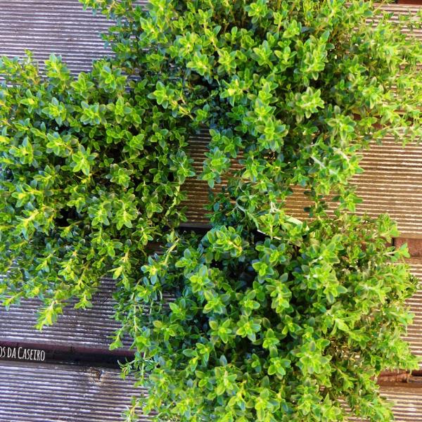 cultivar-tomilho
