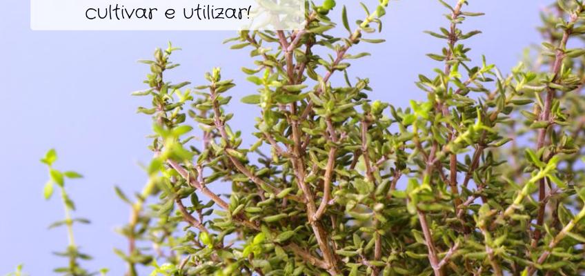 Tomilho – como cultivar e utilizar!