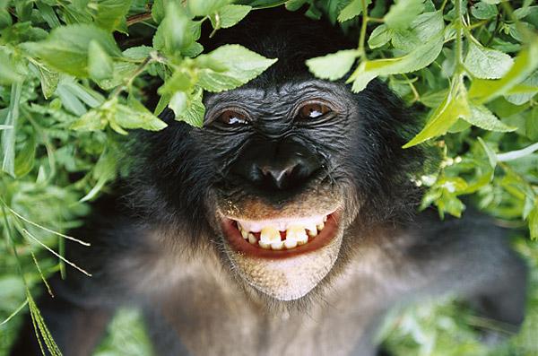bonobo-cult-stories
