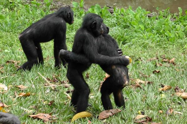 bonobo-cultstories