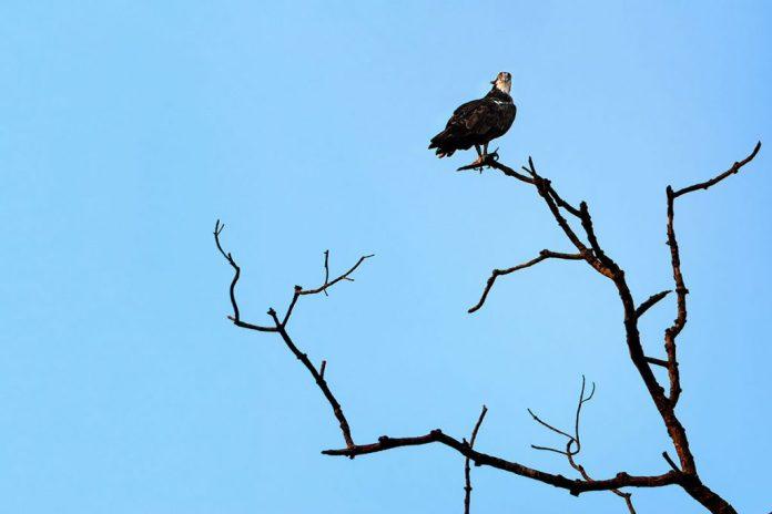El agula pescadora vive en el manglar. Aguila Pescadora (Pandion haliaetus). Foto: Javier Vázquez.