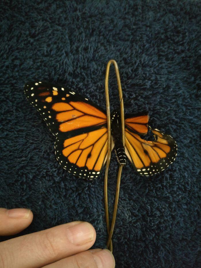 monarch butterfly.Cultura Inquieta 3