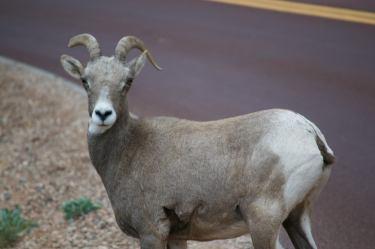 Hey goat, hey!