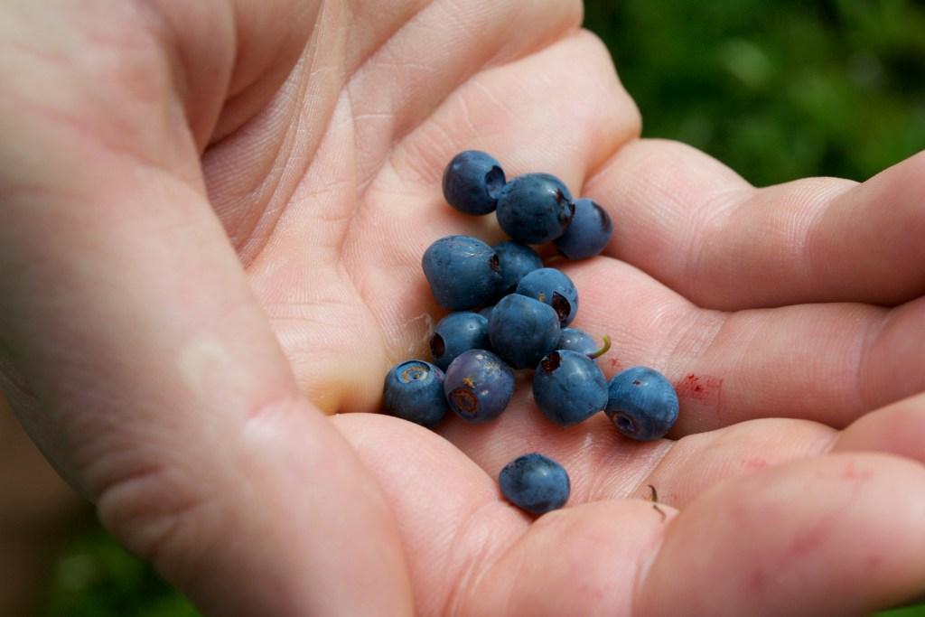 Wild Blueberries at Tolmie Peak, Washington