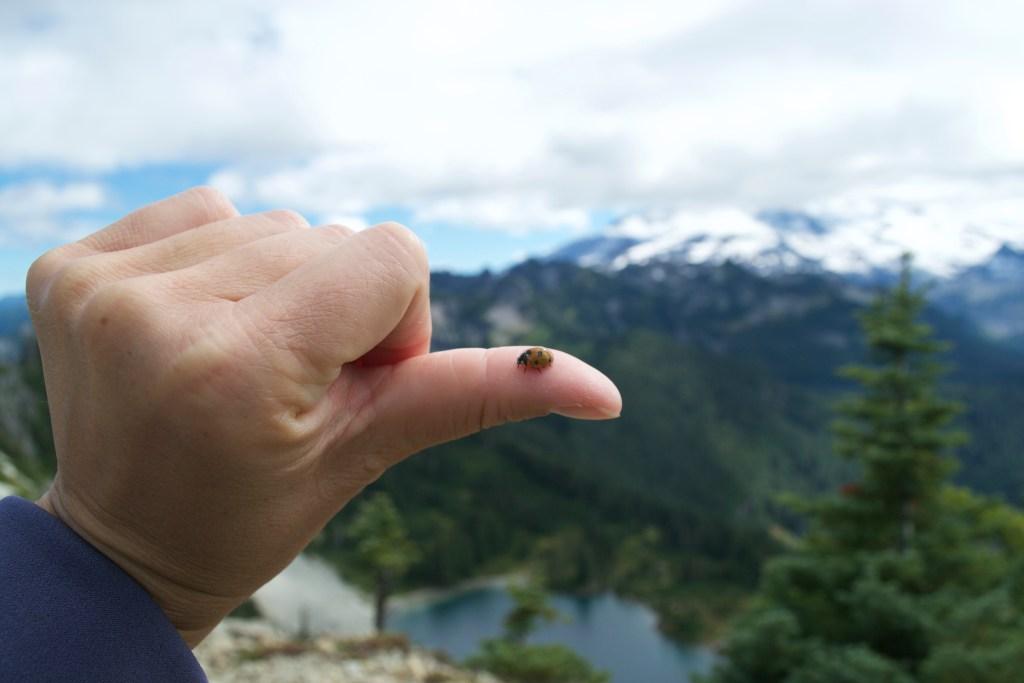 Ladybug at Tolmie Peak - Mount Rainier National Park, Washington