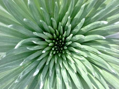 Silversword Plant, Haleakala, Maui