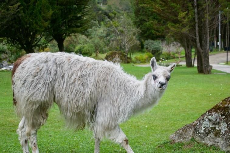 This is an alpaca. Llamas are smaller with shorter necks and bigger ears. Llamas are also cuter.