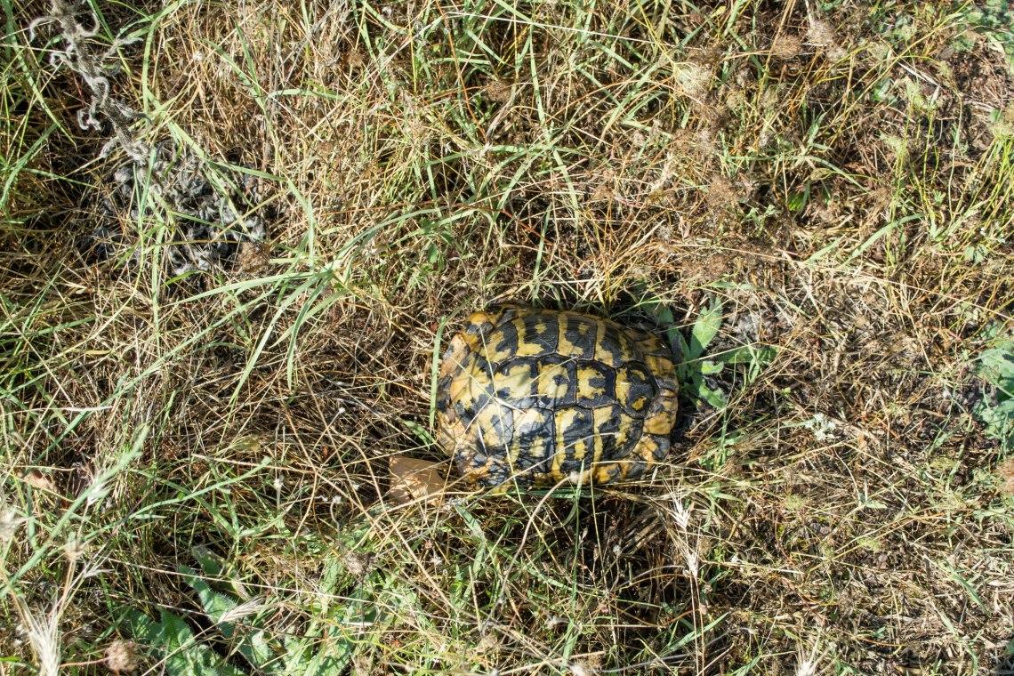 Meteora Turtle