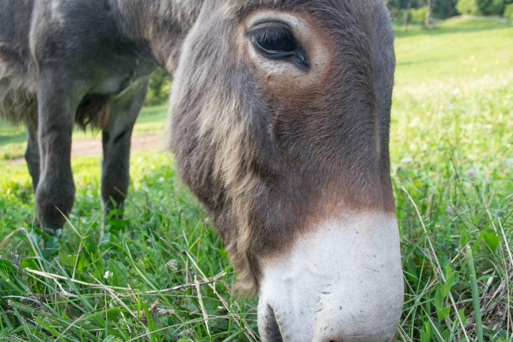 Baby Donkey - Dolomites, Italy