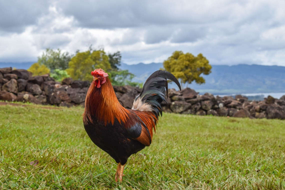 North Shore Oahu Rooster