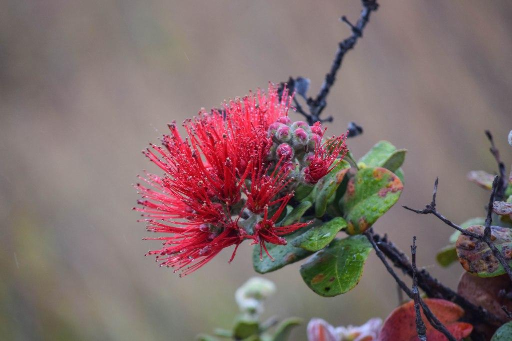 Ohia Lehua Flower - Big Island, Hawaii