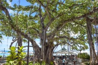 Moana Surfrider Banyan Tree1